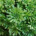 Rosularia platyphylla