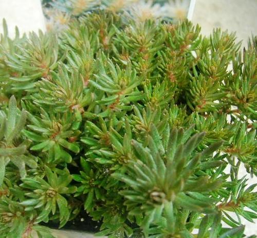 松の葉マンネングサ