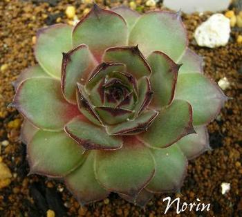 Norin