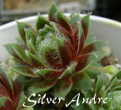 Silver Andre